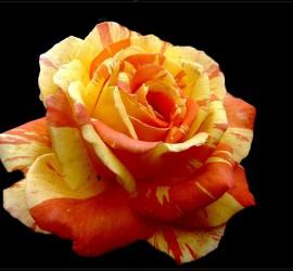 rot-gelbe-rose-21617_1